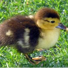 mskofy duck