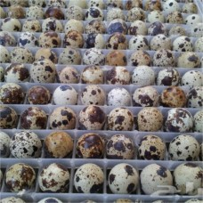 Fertilized quail eggs