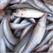 قطاع السمك (12)